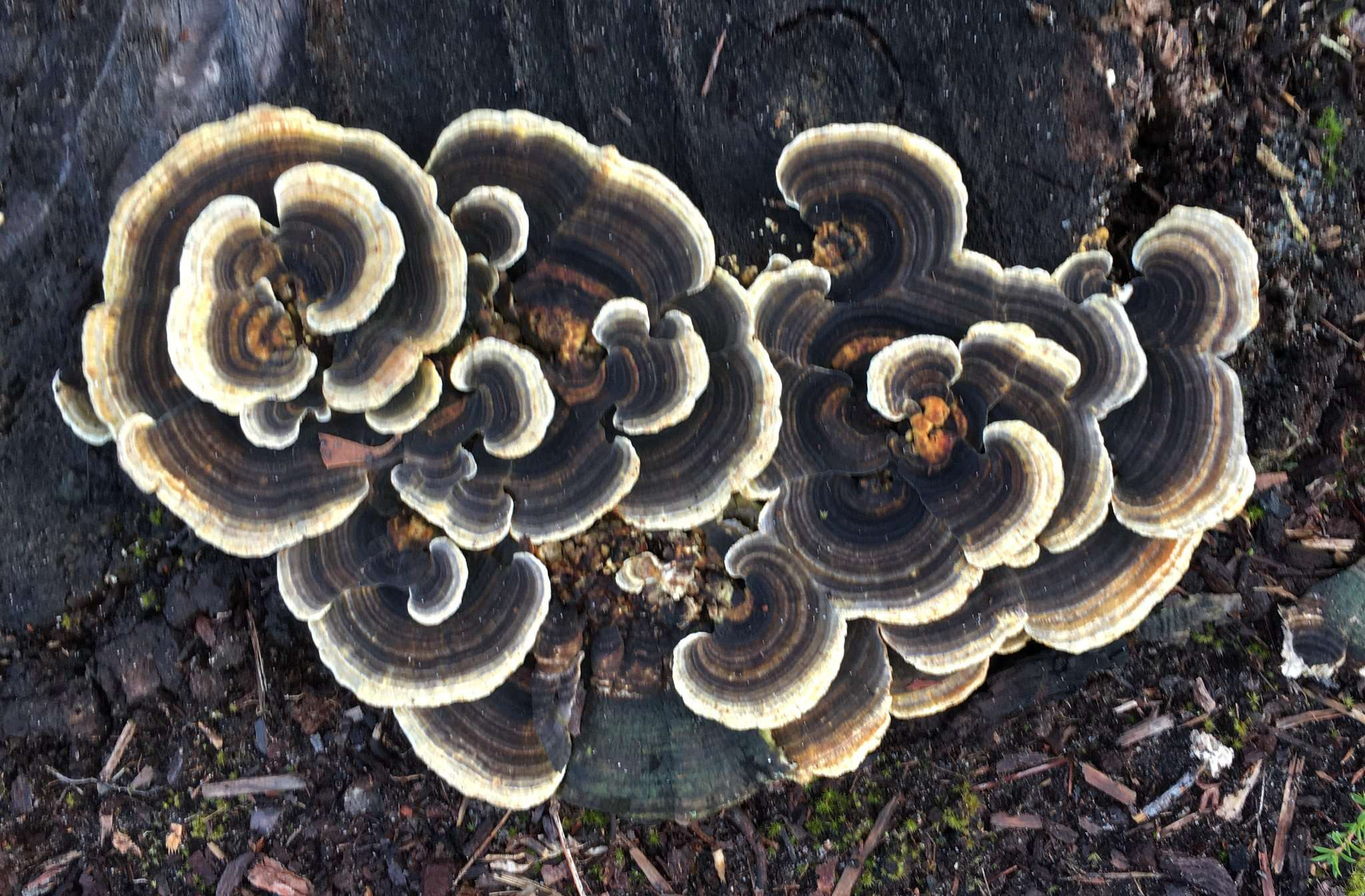 A photo of Turkey Tail fungus, taken by peter Hill. Mushrooms are an apt symbol for the Mycelium project by Southern Forest Arts